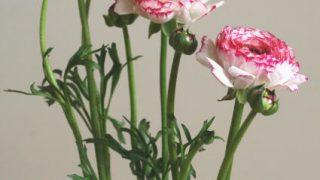 自分が使った花材事典:ラナンキュラス(白×縁ピンク)