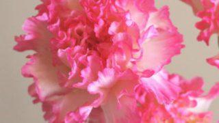 自分が使った花材事典:カーネーション(縁ピンク)