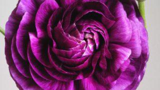 自分が使った花材事典:ラナンキュラス(紫)