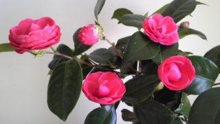自分が使った花材事典:椿(紅乙女)