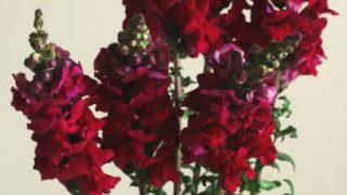 自分が使った花材事典:キンギョソウ(ローズピンク)