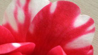 自分が使った花材事典:椿(太神楽)