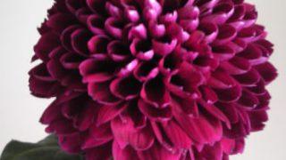 自分が使った花材事典:ピンポン菊(紫)