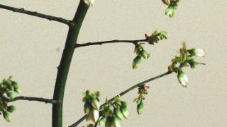 自分が使った花材事典:ブルーベリー(花)