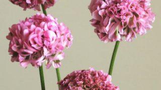 自分が使った花材事典:スカビオーサ(ピンク 変わり咲き)