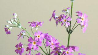 自分が使った花材事典:サクラソウ