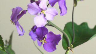 自分が使った花材事典:ムラサキハナナ