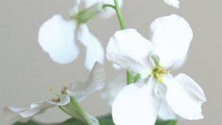 自分が使った花材事典:ムラサキハナナ(白)