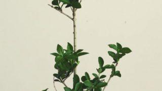 自分が使った花材事典:エボタノキ