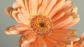 自分が使った花材事典:ガーベラ(アプリコット)