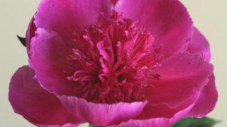 自分が使った花材事典:芍薬(ボタン色・翁咲き)