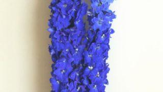 自分が使った花材事典:デルフィニウム(青 エラータム系)