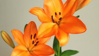 自分が使った花材事典:すかしゆり(オレンジ)
