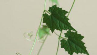 自分が使った花材事典:烏瓜