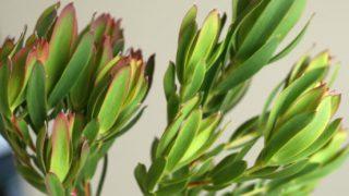 自分が使った花材事典:レウカデンドロン(グリーン)