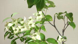 自分が使った花材事典:ヤマボウシ