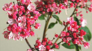 自分が使った花材事典:カルミア