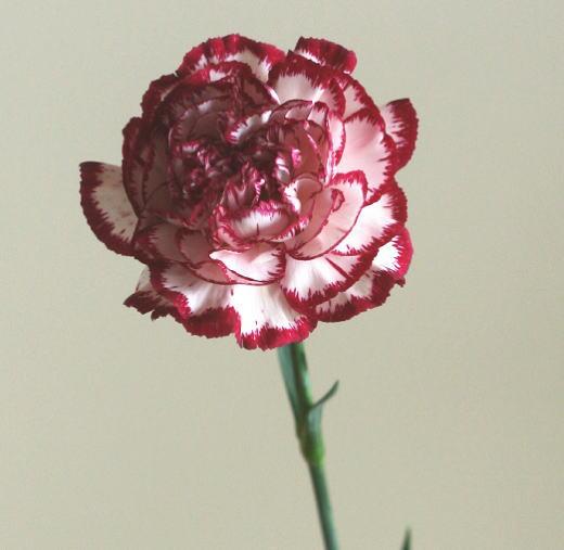 自由研究 カーネーションの花を解剖する