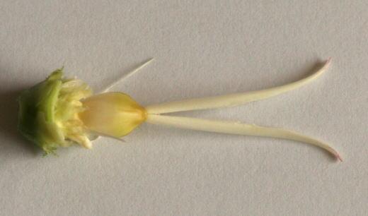 カーネーションのめしべと子房 花の解剖の自由研究