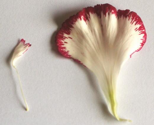 カーネーションの花弁 花の解剖の自由研究