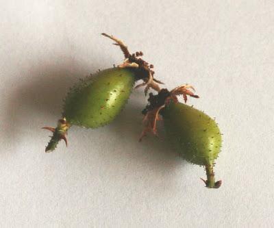 ロサ・ホリダの実 植物自由研究