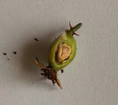 ロサ・ホリダの実の断面 植物自由研究