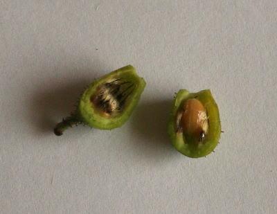 ロサ・ホリダの種 植物自由研究