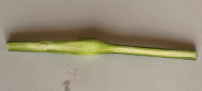 カーネーションの茎の断面 植物自由研究