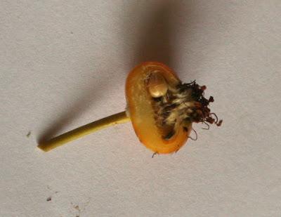 スズバラの実の断面 植物自由研究