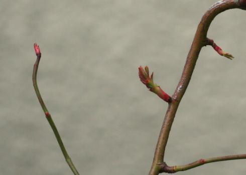 野バラの新芽