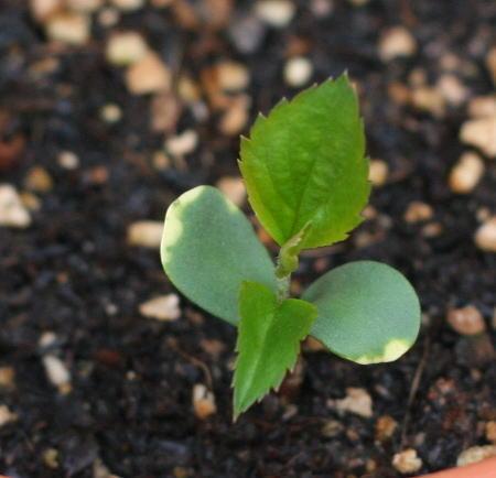 りんごの発芽