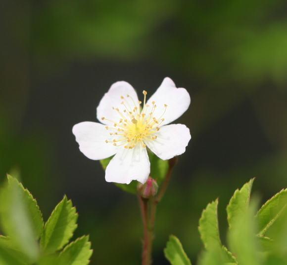 野バラの花